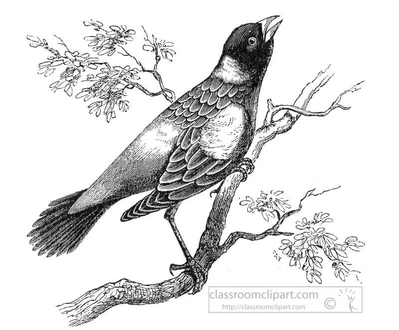 boblink-bird-illustration.jpg