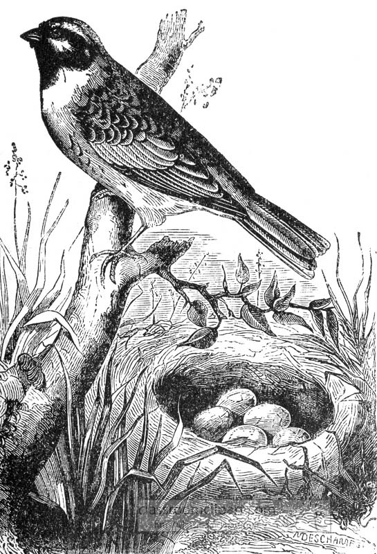 bunting-bird-with-eggs-illustration.jpg