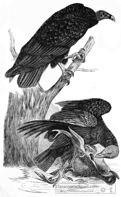buzzard-vulture-bird-illustration.jpg