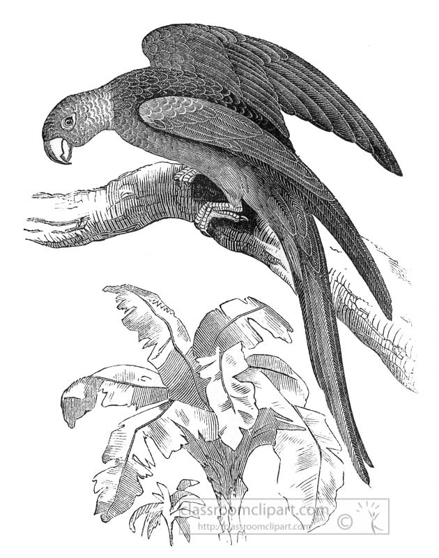carolina-parrot-historic-illustration-2434.jpg