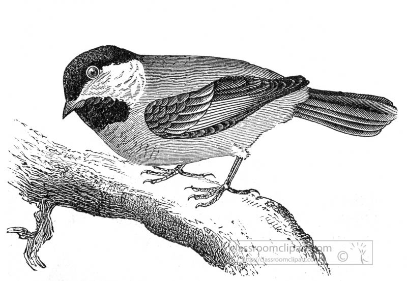 chickadee-bird-illustration.jpg
