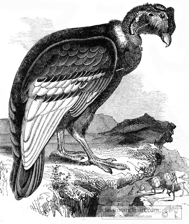 condor-bird-illustration.jpg