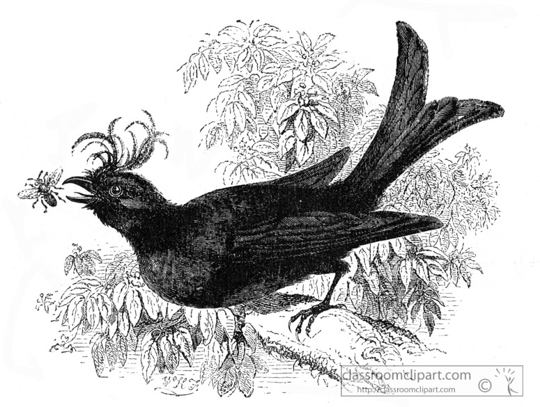 crested-drongo-bird-illustration.jpg