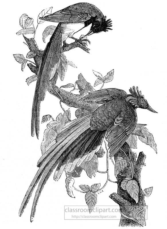 crested-jay-bird-illustration.jpg