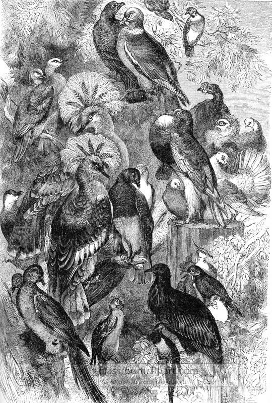 doves-pigeon-bird-illustration.jpg