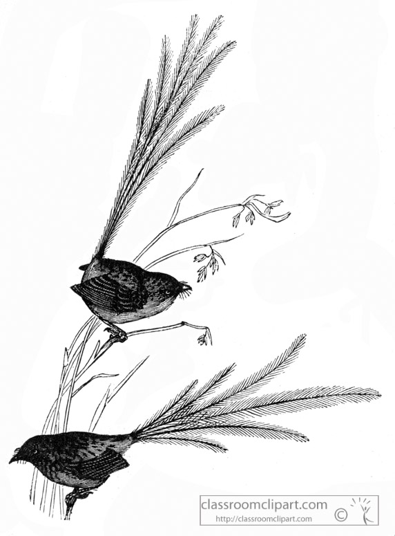 emu-wren-bird-illustration.jpg