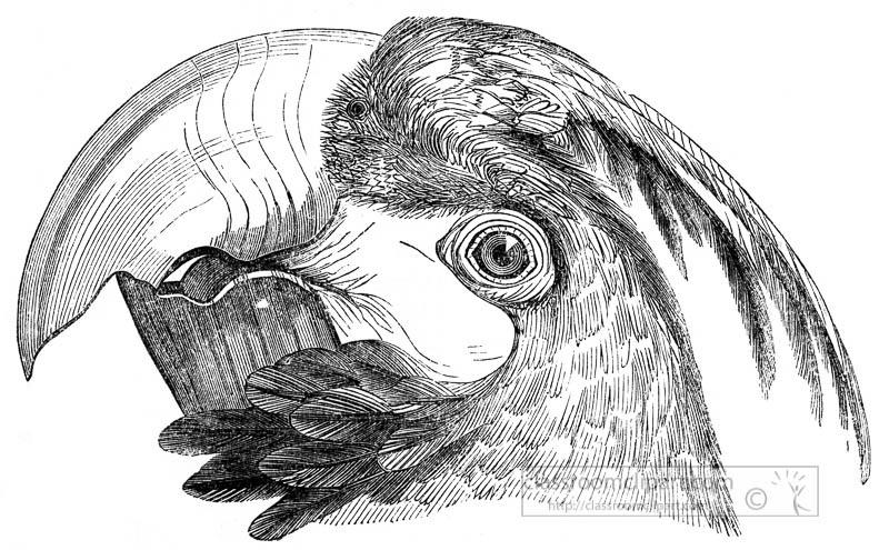 face-beak-eyes-of-macaw-parrot-bird-illustration.jpg