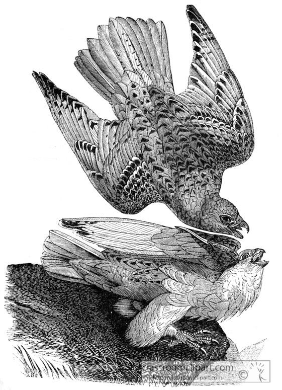 falcon-bird-illustration-11.jpg