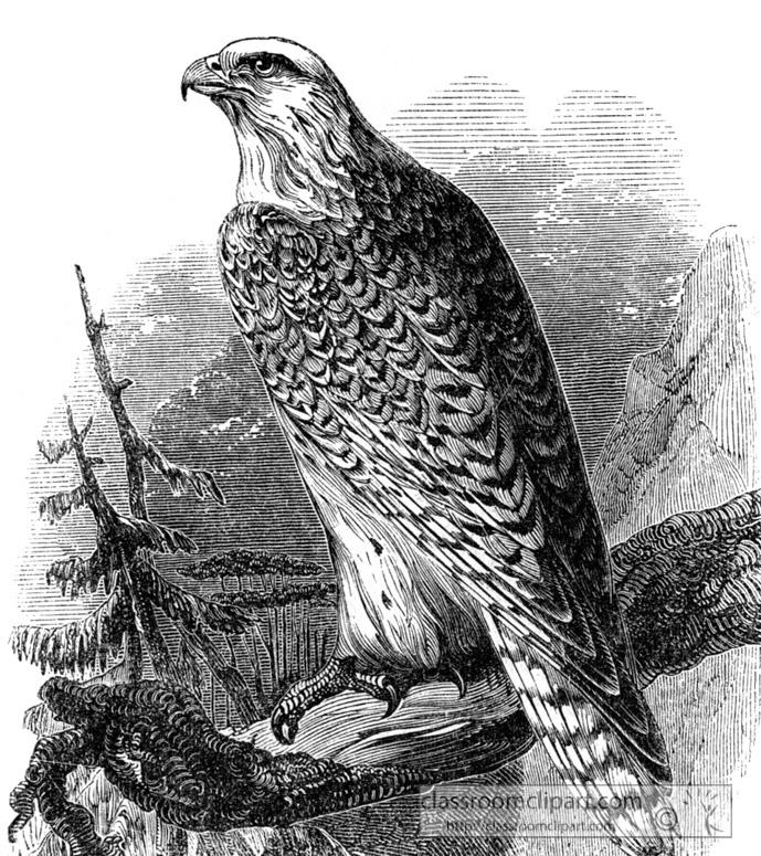 falcon-bird-illustration-12.jpg