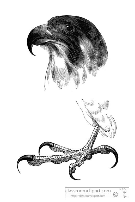 falcon-bird-illustration-16.jpg