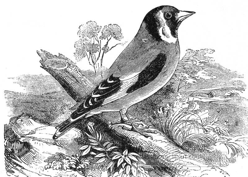 finch-bird-illustration-99.jpg