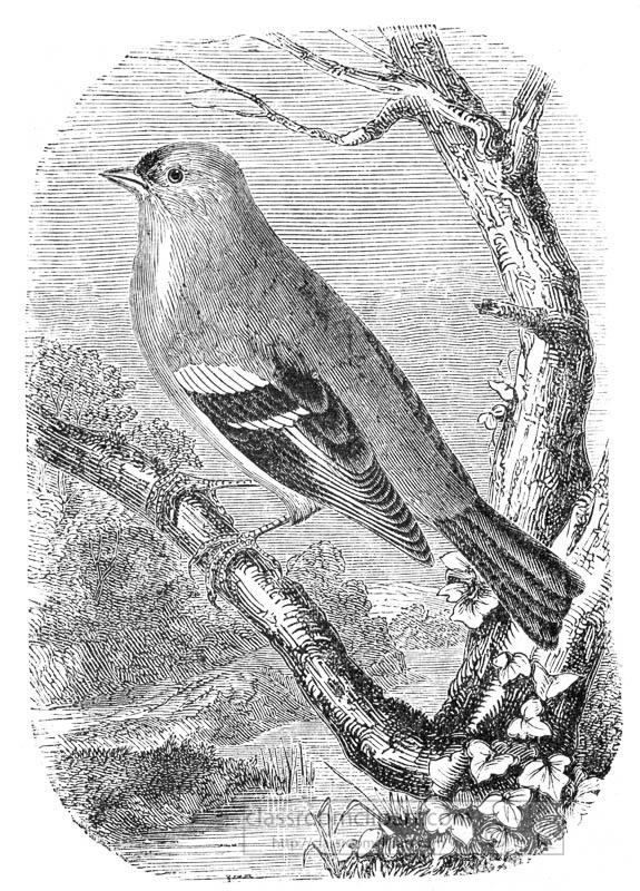 finch-bird-illustration.jpg