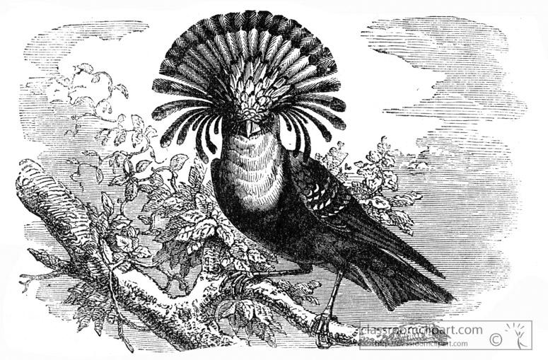 flycatcher-bird-illustration-12.jpg