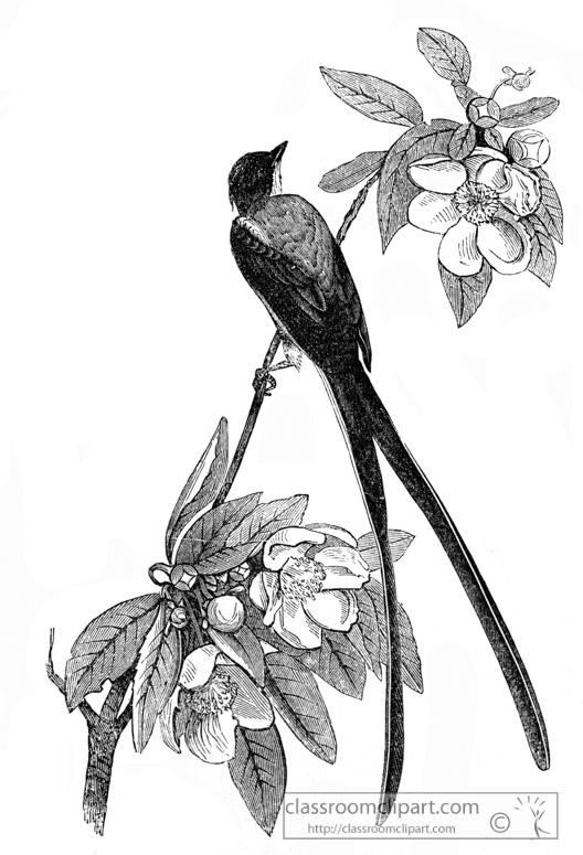 flycatcher-bird-illustration-13.jpg