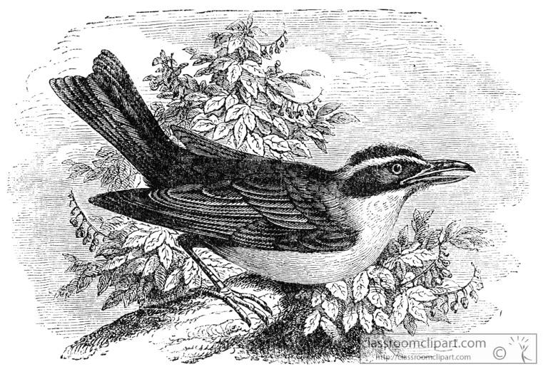 flycatcher-bird-illustration-14.jpg