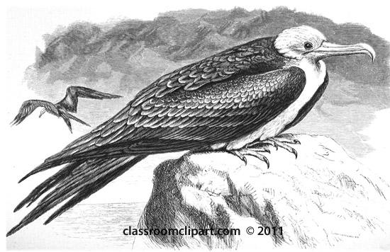 frigate-bird-illustration.jpg