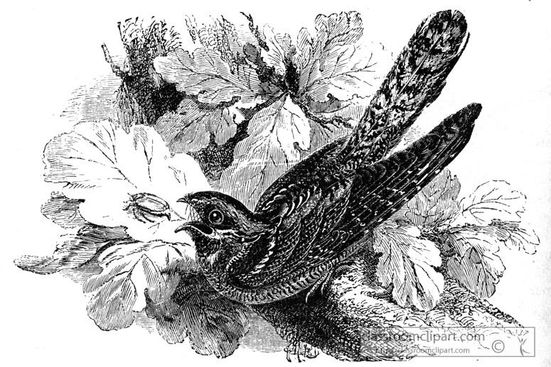 goatsucker-bird-illustration.jpg