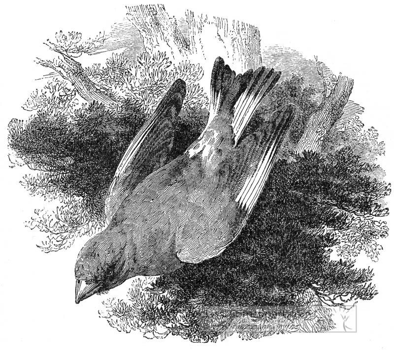 grosbeak-bird-illustration.jpg