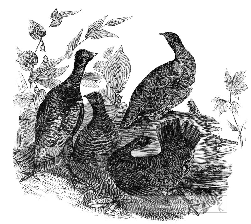 group-of-grouse-birds-illustration.jpg