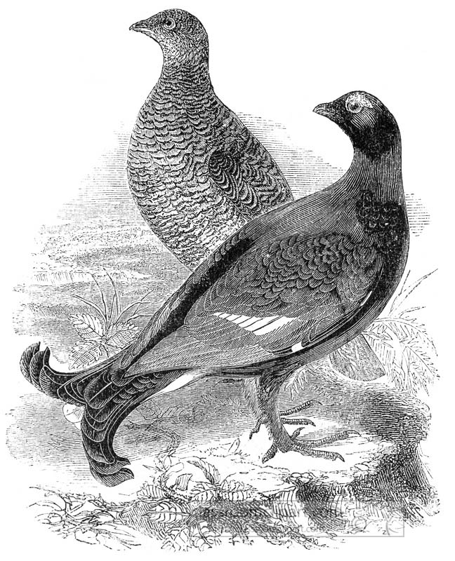 grouse-bird-illustration.jpg