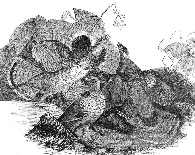 grouse-birds-historic-illustration.jpg