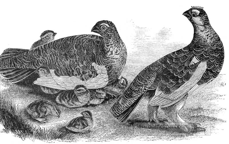 grouse-birds-with-babies-illustration.jpg