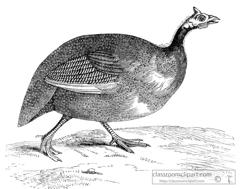 guinea-fowl-bird-illustration.jpg