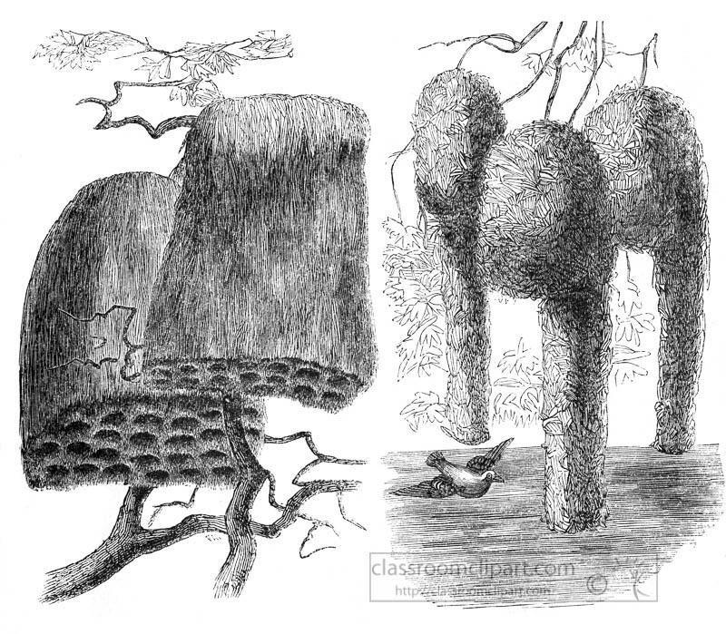 hanging-bird-nest-of-weavers-illustration.jpg