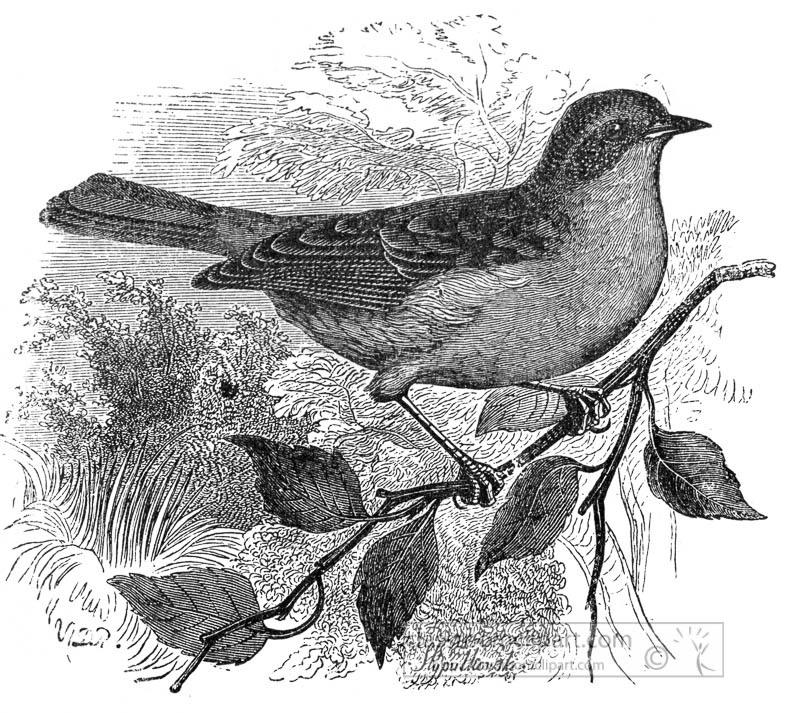 hedge-accentor-bird-on-small-branch-026.jpg