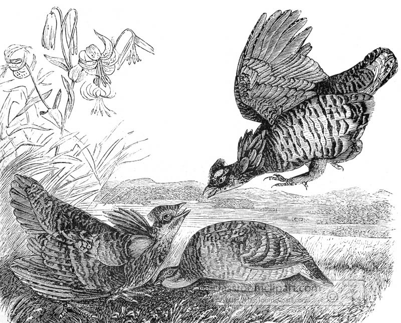 hens-fightining-bird-illustration.jpg