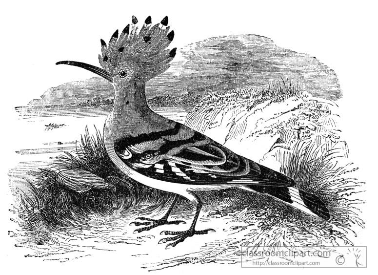 hoopoe-bird-illustration.jpg