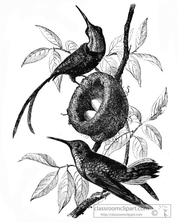 hummingbird-illustration-13.jpg