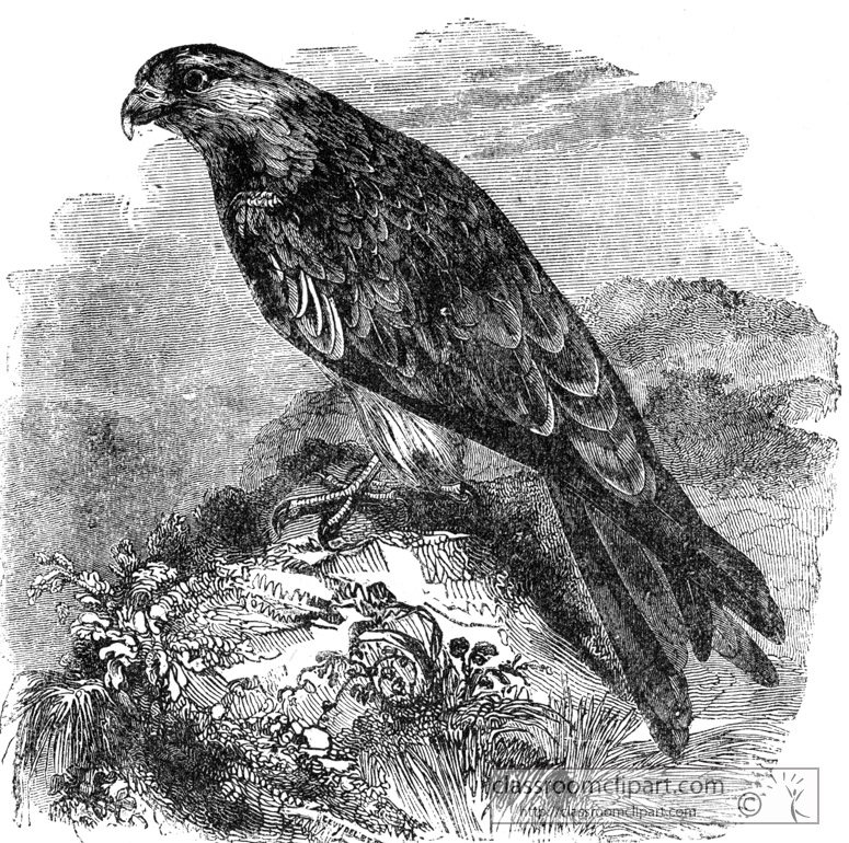 kite-bird-illustration.jpg