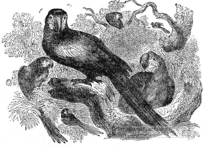 macaw-bird-illustration.jpg