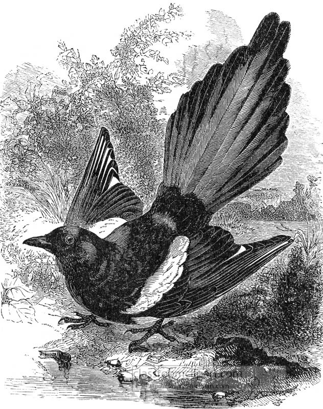 magpie-bird-illustration.jpg