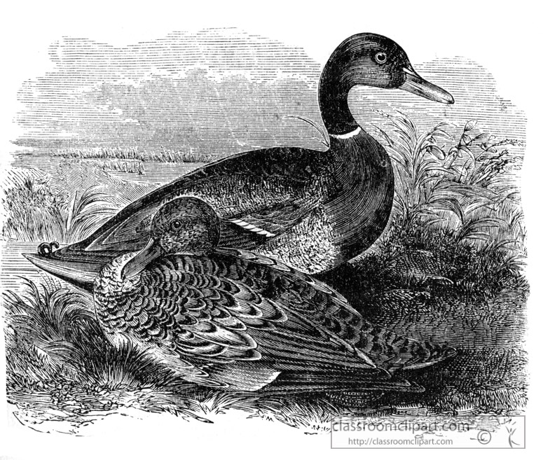 mallard-bird-illustration.jpg
