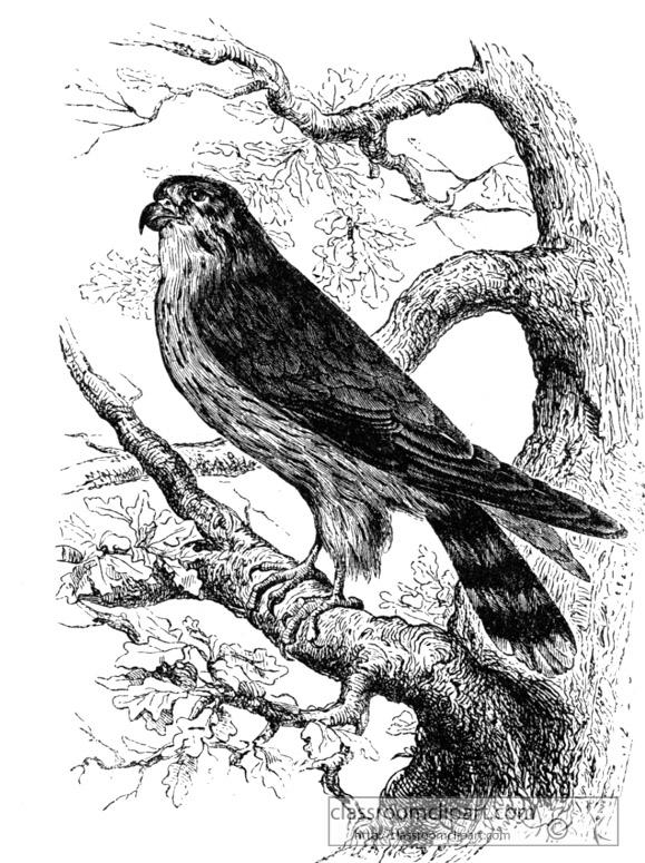 merlin-bird-illustration.jpg