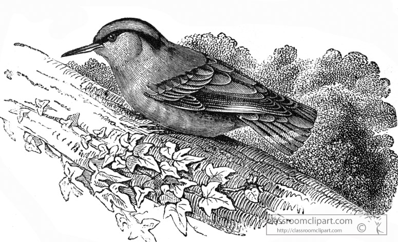 nuthatch-bird-illustration.jpg