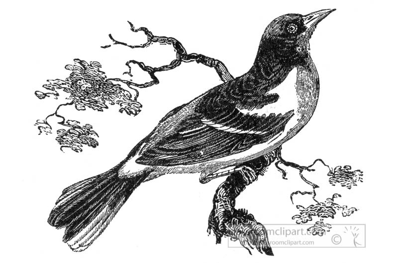 oriole-bird-illustration.jpg