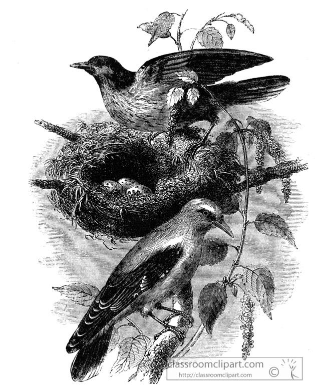 oriole-nest-bird-illustration.jpg