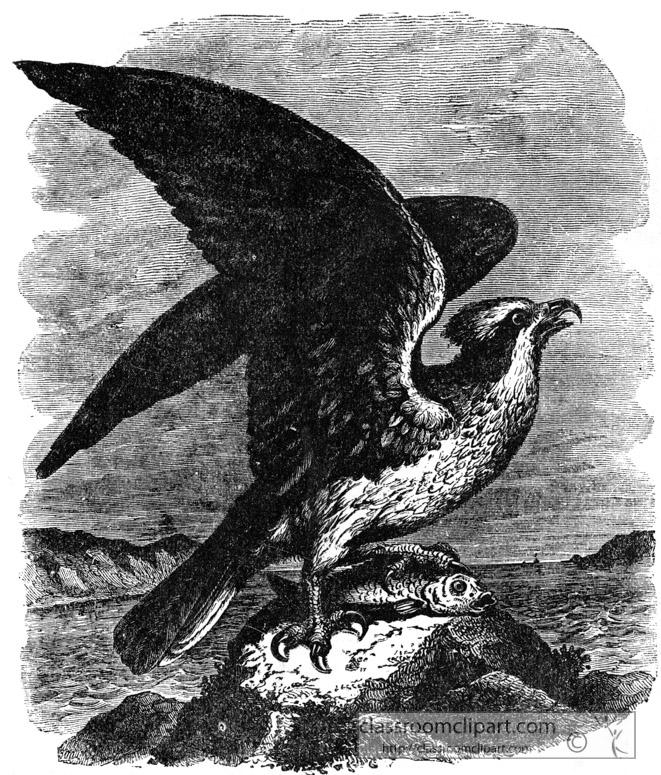 osprey-bird-illustration.jpg