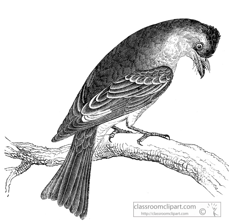 phoebe-bird-illustration.jpg