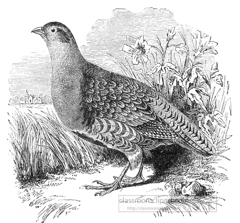 single-grouseen-graved-bird-illustration.jpg