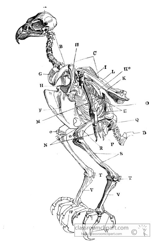 skeleton-bird-illustration.jpg