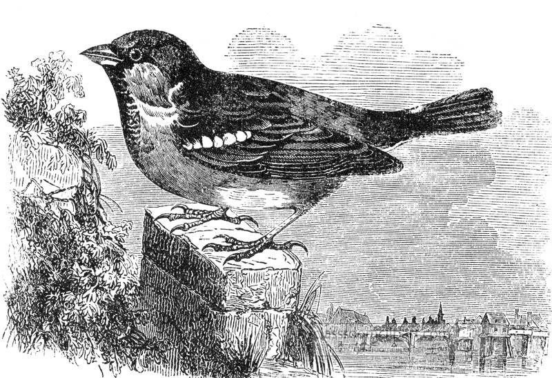 sparrow-bird-illustration.jpg