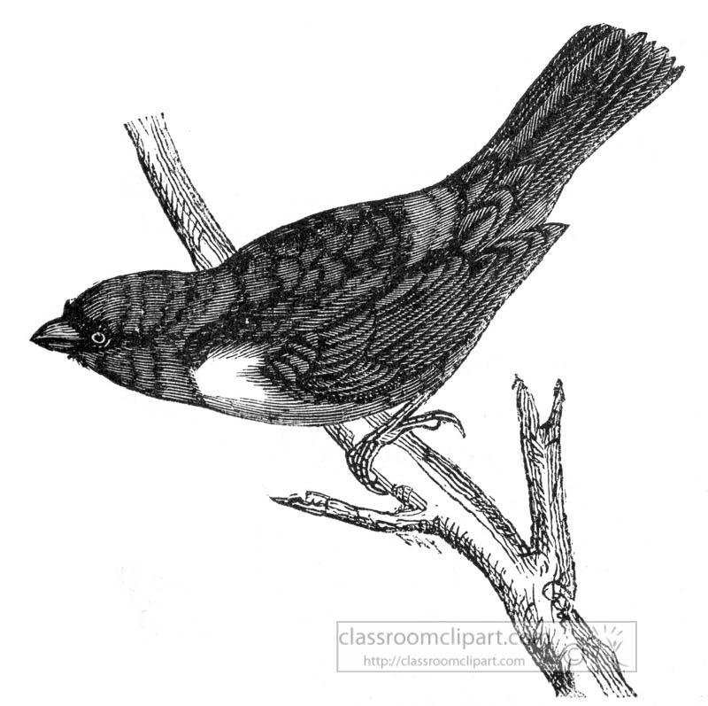 tanager-bird-illustration.jpg