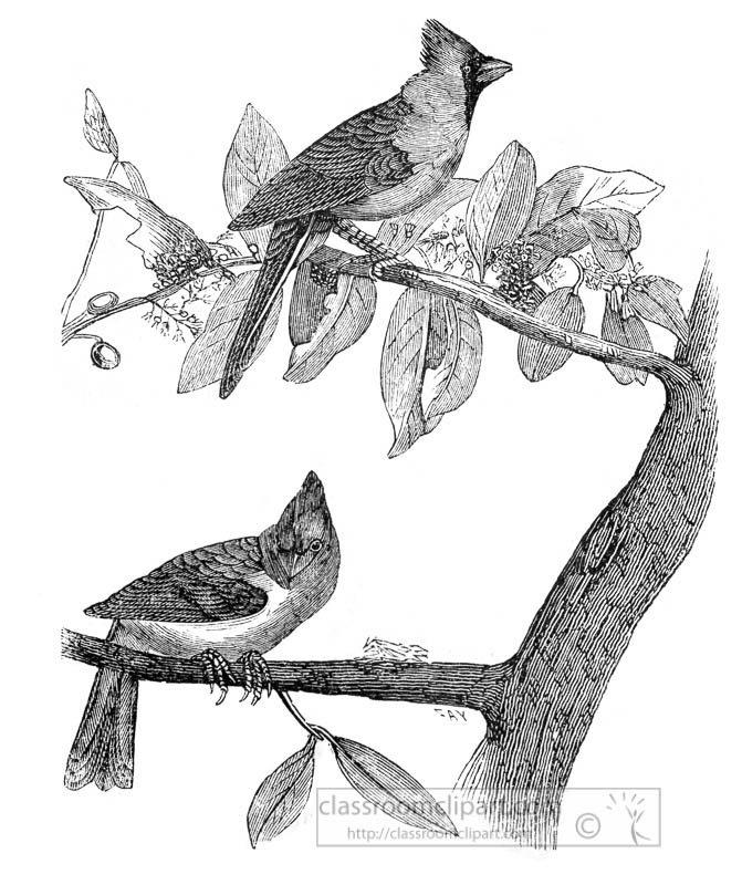 two-cardinal-grosbeak-birds-illustration.jpg