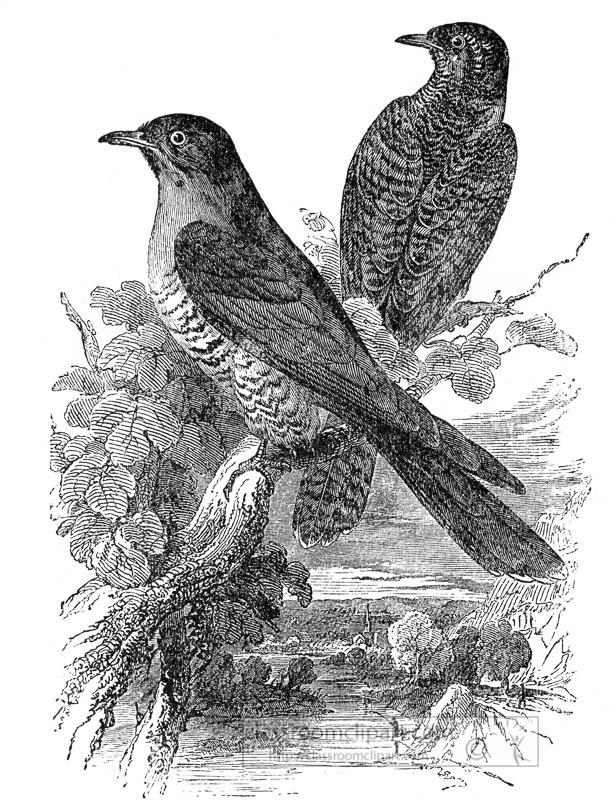 two-cuckoo-birds-in-tree-illustration.jpg