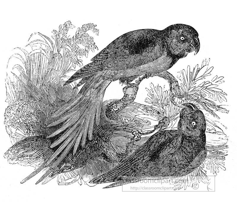 two-parrakeets-bird-illustration.jpg