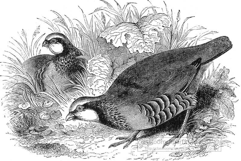two-partridge-birds-illustration-2.jpg